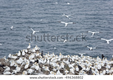 Cape St Mary's Newfoundland bird colony