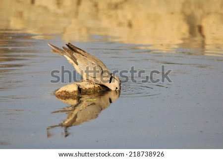 Cape Turtle Dove - African Wildlife Background - Island of Blue and Gold - stock photo