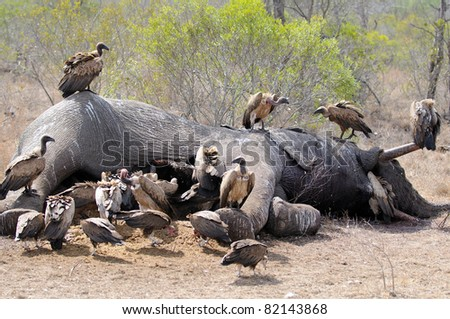 Cape vulture - stock photo