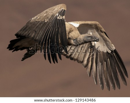 Cape Vulture flapping its wings in full flight - stock photo