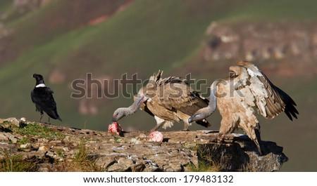 cape vulture in flight  - stock photo