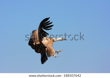 Cape Vulture in flight with wings stretched out - stock photo