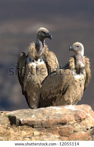 Cape Vultures - stock photo