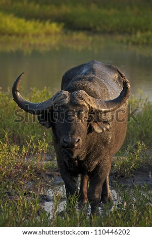 Cape Water Buffalo wading through the water in the afternoon sun