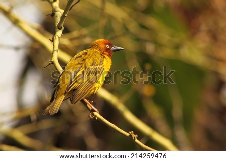 Cape Weaver (Male)