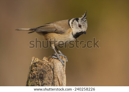 Cappuccino tit (Parus cristatus) perched on a branch - stock photo