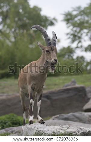 Capra Wild Goat - stock photo