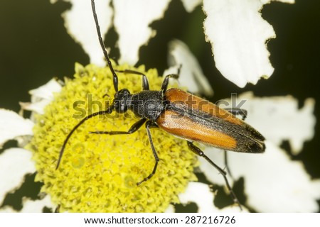 Capricorn beetle (long-horned, longicorn) in natural habitat / Stenurella melanura  - stock photo