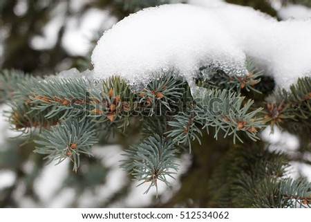 Caps of snow on spruce branches. New year mood. Winter. Tree in the snow