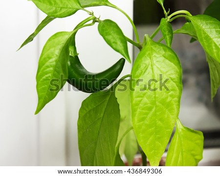 Capsicum annuum. Cultivation of green chili pepper on a windowsill, vegetable garden inside home. - stock photo