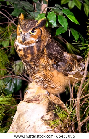 Captive Great Horned Owl Standing On Rock in Ohio - stock photo