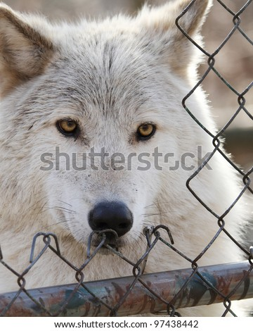 Captive Grey Wolf looks through an enclosure opening  (Canis lupus) - stock photo