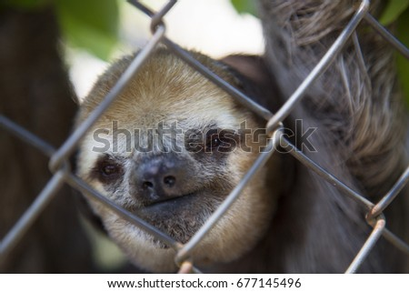captive pale-throated sloth, Bradypus tridactylus, hanging behind bars or fence