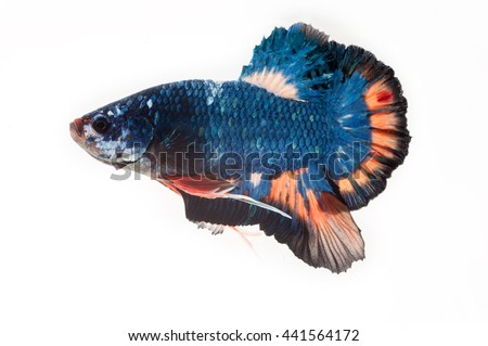 Capture the moving moment of Betta fish,Siamese fighting fish in movement isolated on white background. - stock photo