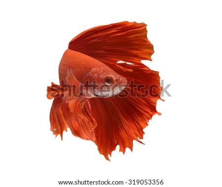 Capture the moving moment of red siamese fighting fish isolated on black background. Betta fish - stock photo