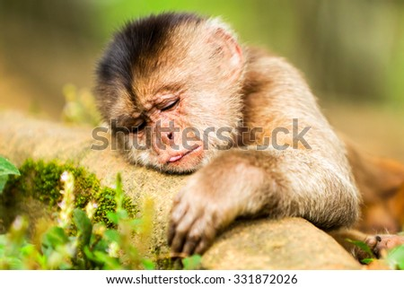 Capuchin Monkey Cub Lying On A Branch Shoot Into The Wild In Ecuadorian Rainforest - stock photo