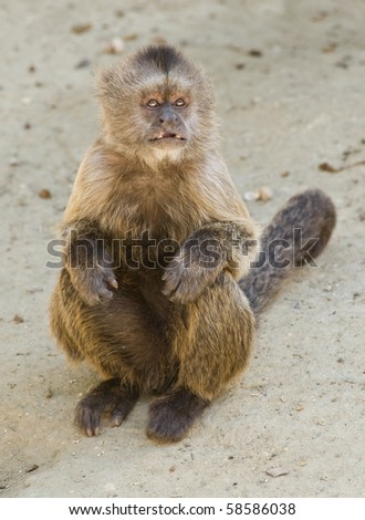 Capuchin Weeper Monkey sitting with mouth open - stock photo