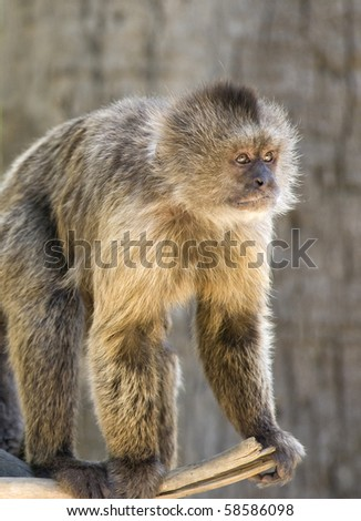 Capuchin Weeper Monkey standing on a branch - stock photo