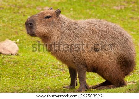 Capybara ( Hydrochoerus hydrochaeris ) on the grass - stock photo