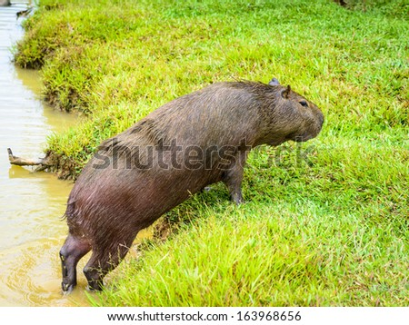 Capybara (Hydrochoerus hydrochaeris), the largest rodent in the world,jumps out of the water - stock photo