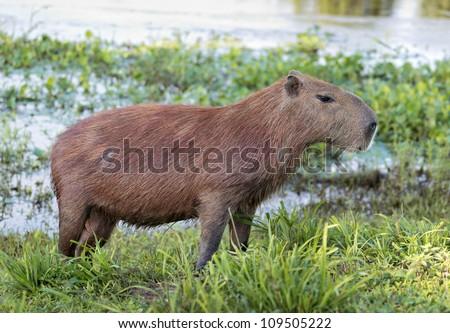 Capybara is next to the water in the El Cedral - Los Llanos, Venezuela - stock photo