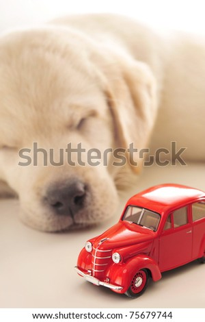 Car insurance concept. Little golden retriever puppy sleeping near red retro car on a white table - stock photo
