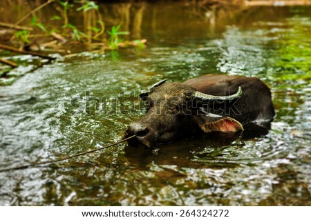 Carabao, Philippine Water Buffalo - stock photo