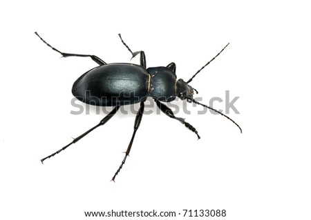 Carabus glabratus, a ground beetle isolated on white ground - stock photo