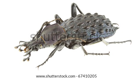 Carabus pustulifer isolated on a white background. - stock photo