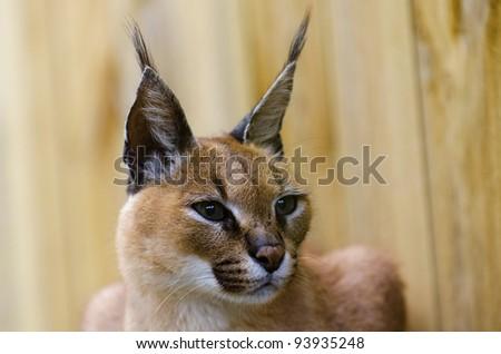 Caracal African wild cat - stock photo