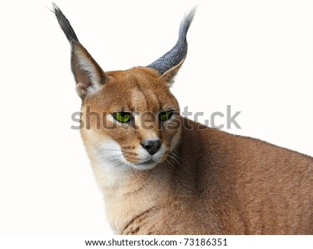 Caracal African wild cat  Isolated on white - stock photo