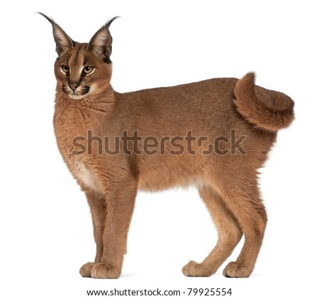 Caracal, Caracal caracal, 6 months old, in front of white background - stock photo