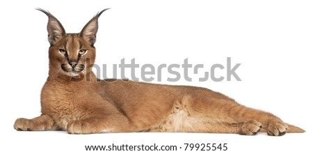 Caracal, Caracal caracal, 6 months old, lying in front of white background - stock photo