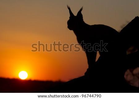 Caracal (Felis caracal) at Sunset, South Africa - stock photo