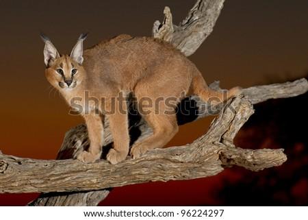 Caracal (Felis caracal) on a dead log at sunset, South Africa - stock photo