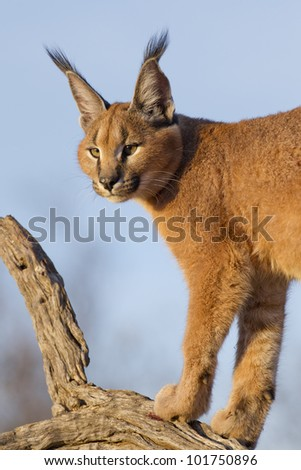 Caracal (Felis caracal) up high on a dead log in South Africa