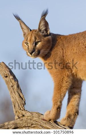 Caracal (Felis caracal) up high on a dead log in South Africa - stock photo