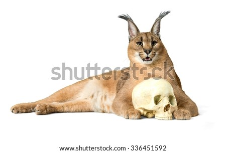 Caracal Lying Down with a Skull - Isolated - stock photo