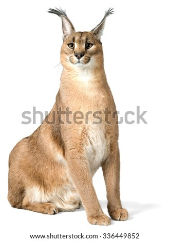 Caracal Sitting - Isolated - stock photo