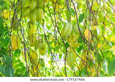Carambola on the tree