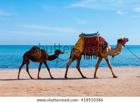 Caravan of camels in the background of the sea