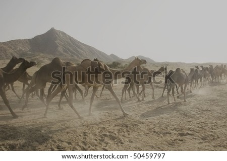 caravan of camels walking in the dust of Thar Desert, Rajastan, India - stock photo