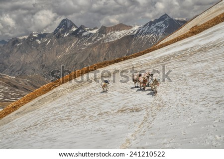 Caravan of mules in high altitudes of Himalayas mountains in Nepal - stock photo