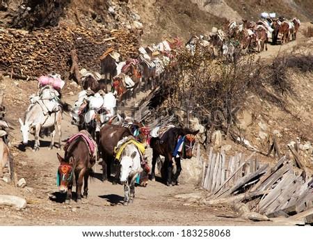 caravan of mules with goods - Western Nepal