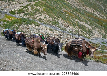 Caravan of yaks in the Nepal Himalaya. Domesticated yaks have been kept for thousands of years, primarily for their milk, fibre and meat, and as beasts of burden.
