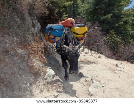Caravan yak on the trek near Namche Bazar - Nepal, Himalayas - stock photo