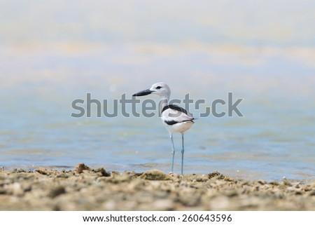 Card Plover [ Dromas Ardeola ] on the beach ,Shorebirds - stock photo