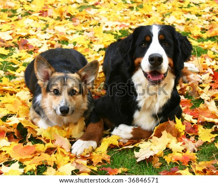 Cardigan Welsh Corgi and Bernese Mountain dogs laying in autumn leaves