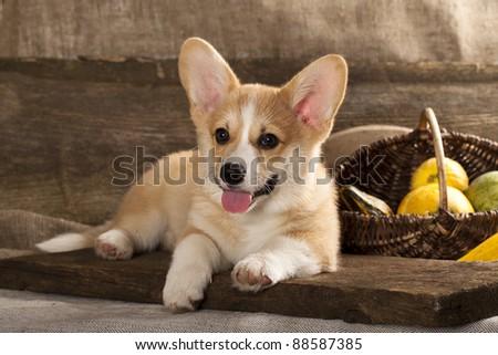 Cardigan Welsh Corgi Dog Breed - stock photo