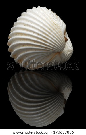 Cardiidae are a family of bivalve mollusks commonly known as cockles, especially the edible European species (Cerastoderma edule). Their shells are common in many beaches in the world.